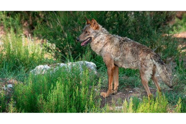Ayudas para los ganaderos aragoneses afectados por el lobo