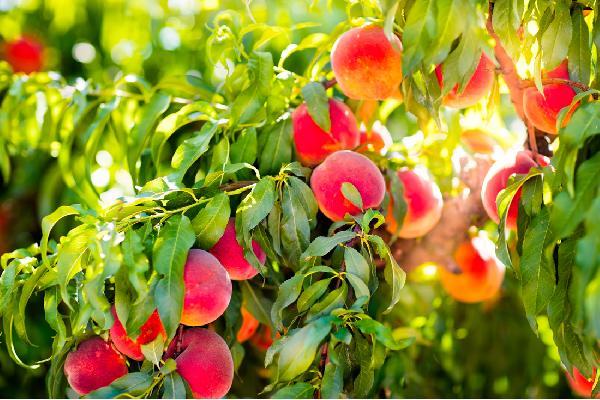 La fruticultura en las comunidades más productoras